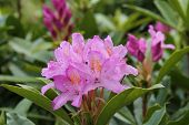 Rhododendron Plant.