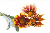 Striped Gazania flowers isolated