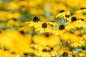 foto of black-eyed susans  - Yellow Flowers Rudbeckia Hirta Or Black Eyed Susan  - JPG