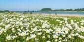 Wild Flowering Oxeye Daisies