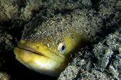 young eel