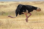 Male Ostrich Walking