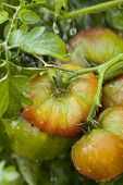 Ripe Organic Heirloom Tomatoes In A Garden