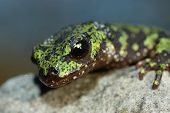 Marbled Newt