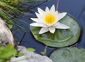 pic of fish pond  - Water lily floating on lake - JPG