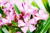 Bright Pink Oleander Flowers