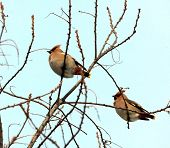 Waxwings resting in a tree branch