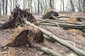 Uprooted trees after storm