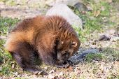 foto of wolverine  - Wolverine Gulo gulo sitting on a meadow also called glutton carcajou skunk bear or quickhatch - JPG