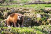 image of wolverine  - Wolverine Gulo gulo sitting on a meadow also called glutton carcajou skunk bear or quickhatch - JPG