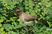 Common Bulbul Eating A Berry