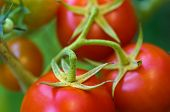 stock photo of eatables  - Plants with red tomatoes growing in vegetable garden in summer - JPG