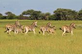 Zebra - Wildlife Background from Africa - Running Stripes of Beauty