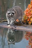 Raccoon (Procyon lotor) Looks At Viewer From Log