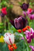 various tulips in a garden