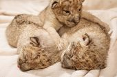 Three cute lions cubs (Panther Leo), two weeks old