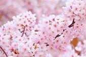 Sakura in pink