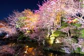 image of night-blooming  - Sakura tree with river reflection at night - JPG