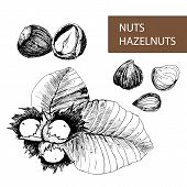 stock photo of hazelnut tree  - Nuts - JPG