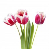 bouquet of tulips on white background, isoated