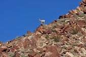 image of anza  - This big horn sheep was at the very top of a close mountainside - JPG