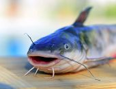 picture of catfish  - Catfish fishing fresh fish on a wooden table - JPG