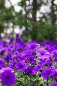 Petunia purple blue