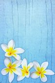 Frangipani On Blue