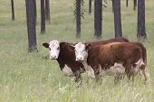 stock photo of hereford  - Two Hereford cows pause from eating in a lush pasture to eye