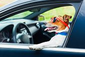 stock photo of steers  - dog leaning out the car window with funny sunglasses - JPG
