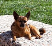 a cute chihuahua laying in the sun on a pet bed in a yard with green grass
