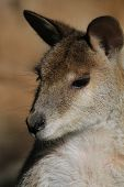 stock photo of wallabies  - Australian native masupial - JPG