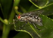 picture of flesh  - Flesh Fly in close up on leaf in sun - JPG
