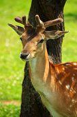fallow deer portrait 4