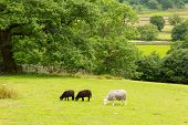 Country scene of sheep in a field at Seatoller Borrowdale Valley Lake District Cumbria England UK