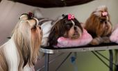 foto of dog breed shih-tzu  - Cute small Shih Tzu dogs resting before dog show - JPG