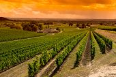 picture of paysage  - Vineyard Sunrise - JPG