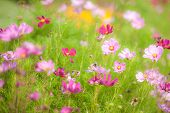 image of cosmos  - Cosmos Sulphureus Flower Cosmos sulphureus or Sulfur Cosmos or Pink Cosmos in the garden or nature park - JPG