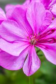 Closeup Of Pink Geranium Flower