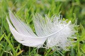 Down Feather On The Grass