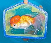Gold Fish With Fishing Net In Plastic Tank.
