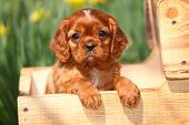Cavalier King Charles Spaniel puppy sitting in wagon