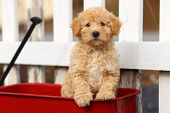 stock photo of wagon  - An adorable Labrador Retriever and Poodle mix puppy  - JPG