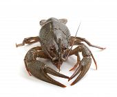 stock photo of crawfish  - Alive isolated crawfish on the white background - JPG