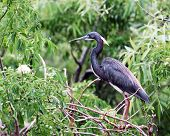 The profile of an adult tricolored heron standing among lush foliage.