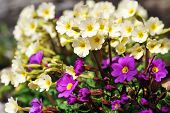 Blossoming Flowers Of  Primrose