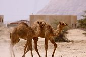 image of jericho  - Two young camels trying to catch up to the rest of the herd crossing the desert in Jericho - JPG