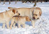 Yellow Labradors In Winter