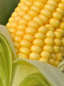 Closeup On Corn