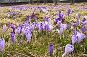 Crocus On A Glade In Spring